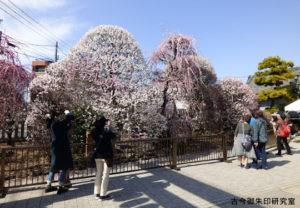 小村井香取神社梅まつり
