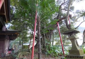 武蔵阿蘇神社御神木の椎