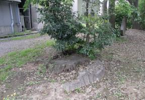 黒松の根株