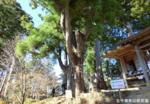 武蔵御嶽神社産安社安産杉